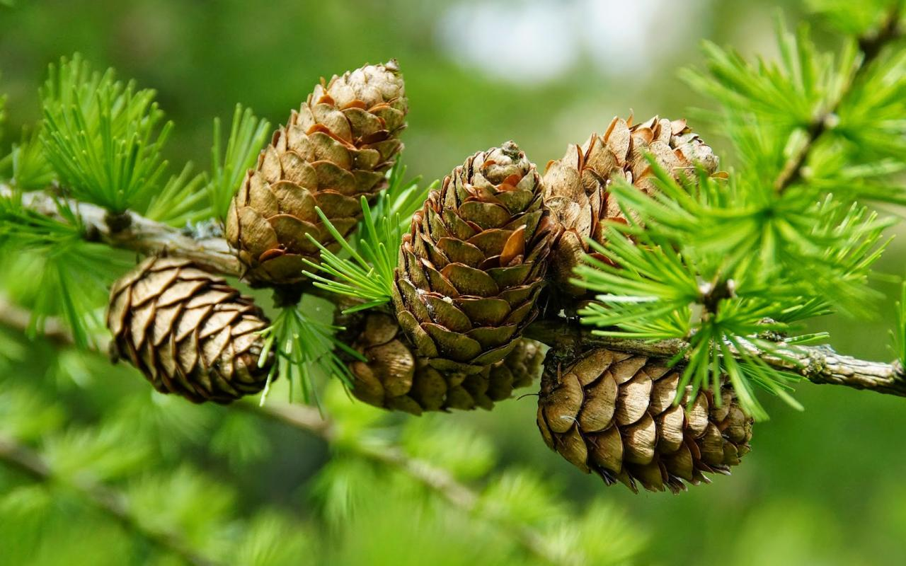 Pine cone wallpaper wallpapersafari for Pinecone wallpaper