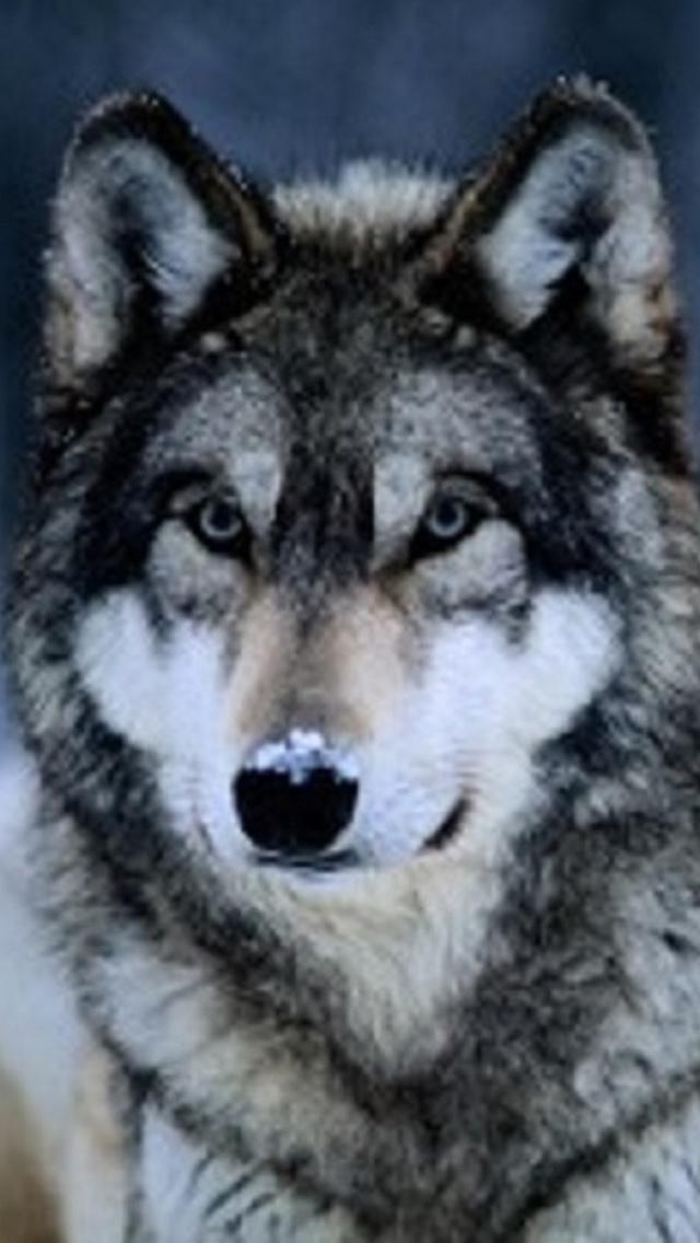 43 Wolf Phone Wallpaper On Wallpapersafari