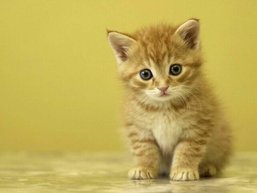 Cute Kitten Wallpaper Desktop Backgrounds 1024x768 pixel Popular HD 1024x768