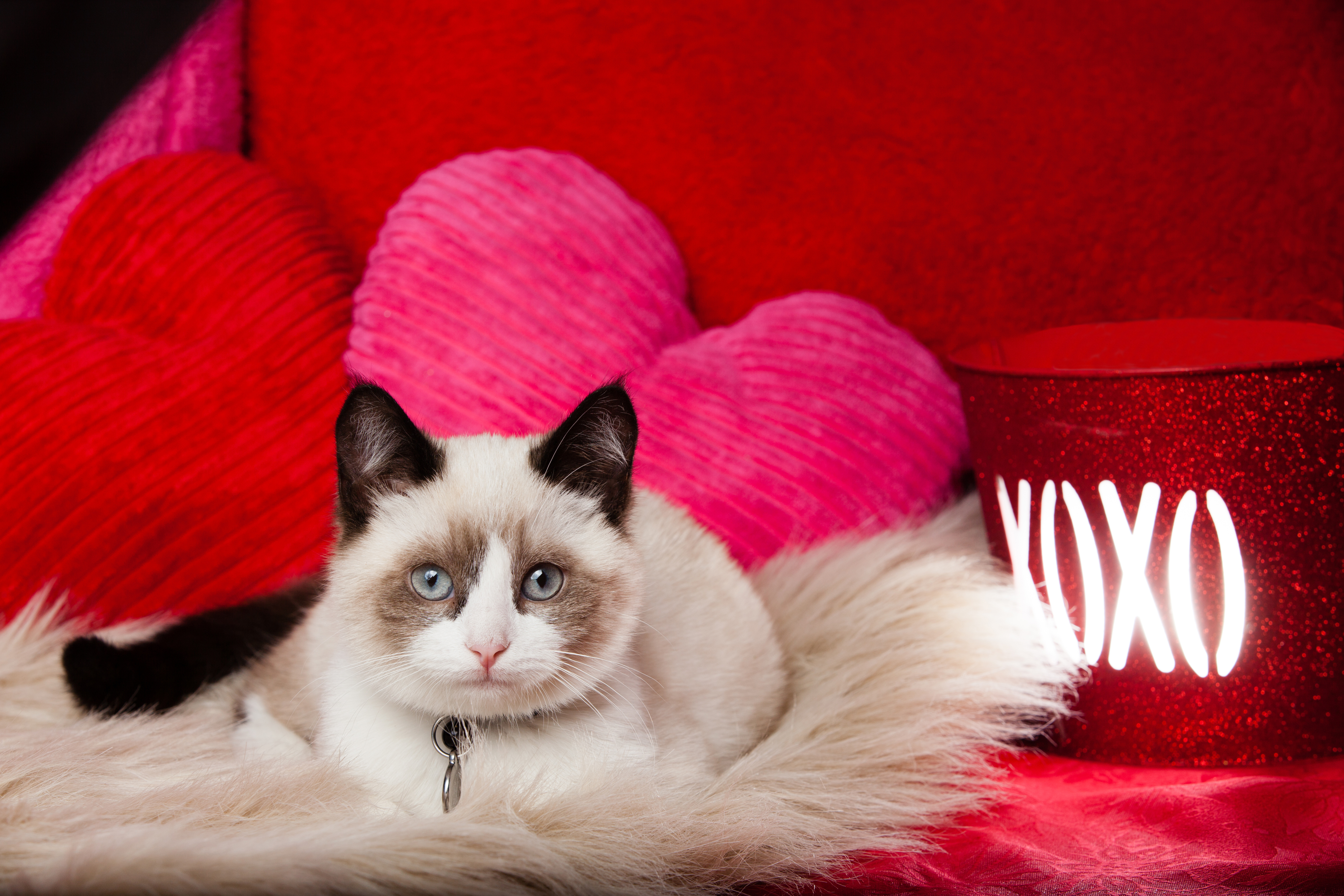 Valentines Day Cat 5616x3744