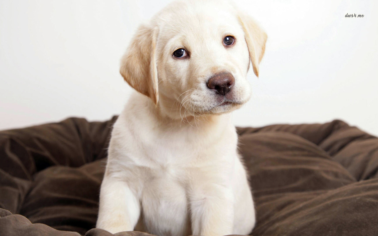 Labrador Puppy wallpaper   Animal wallpapers   4873 1280x800