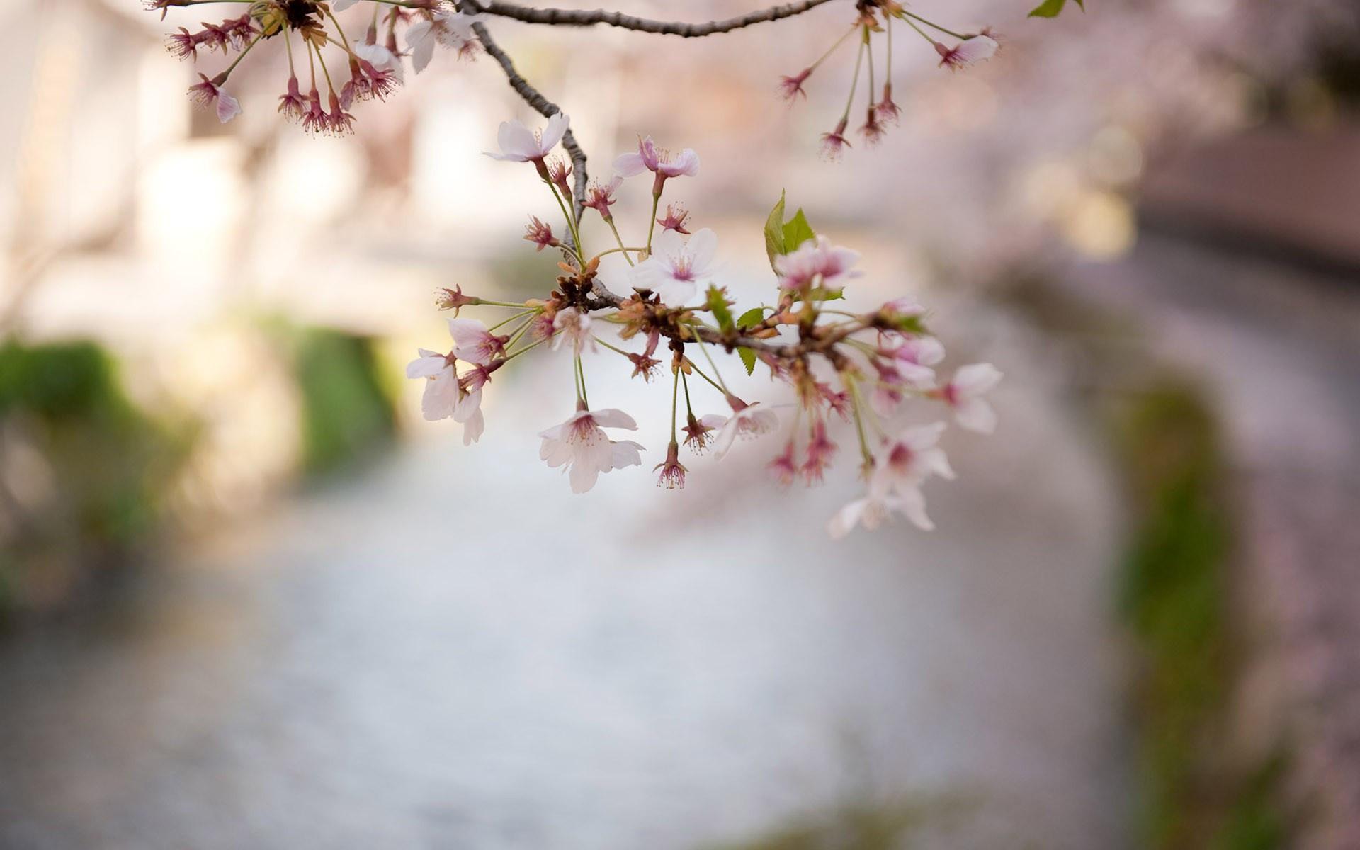 Cherry Blossom Windows Wallpaper - WallpaperSafari