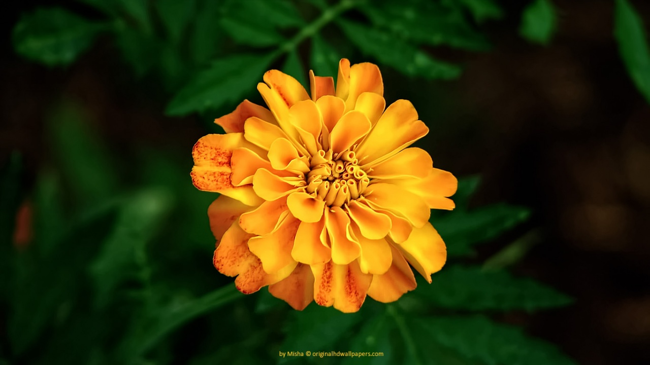 Orange yellow flower wallpaper 1280x720 resolution