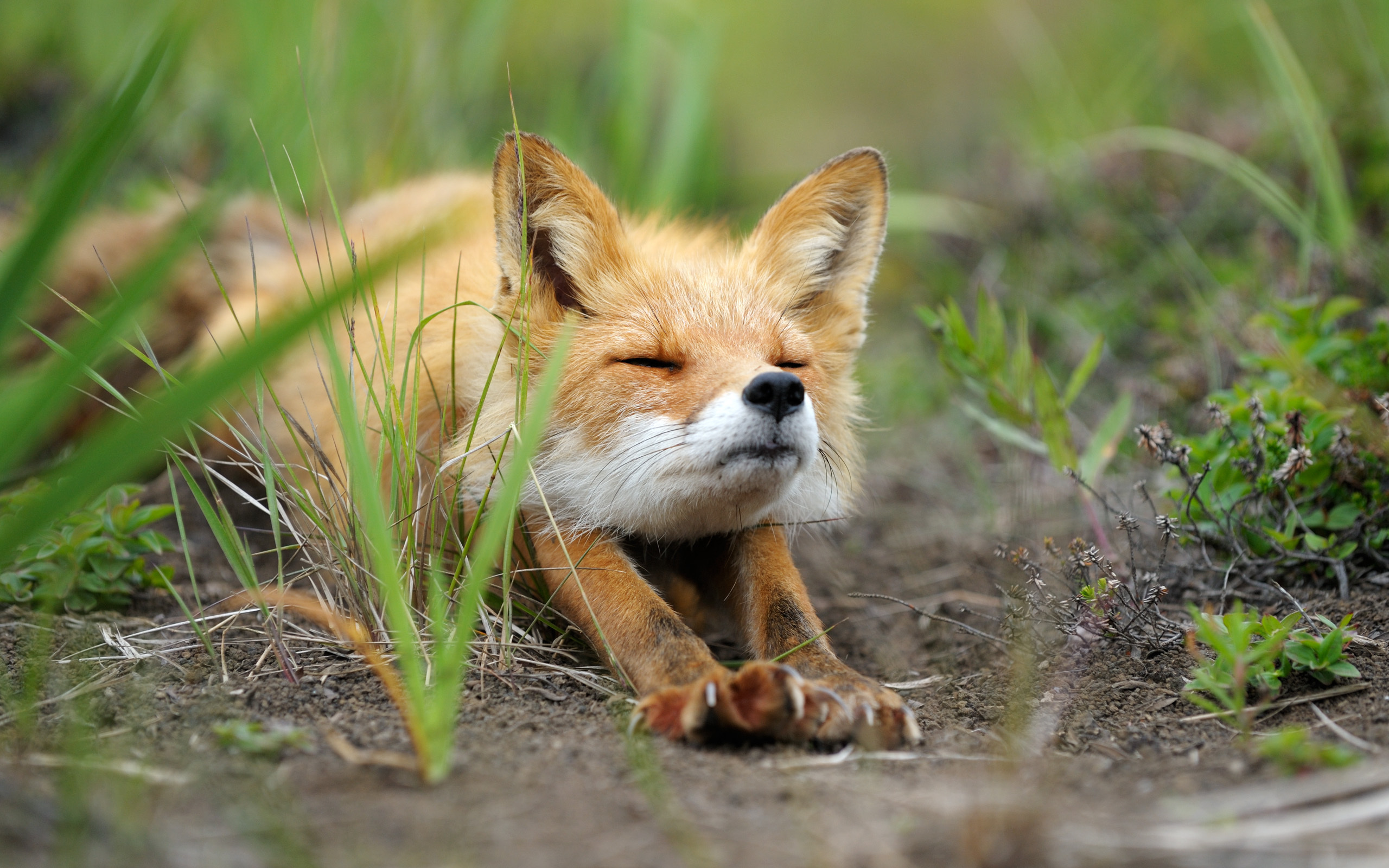 Cute baby fox Widescreen and Full HD Wallpapers 2560x1600