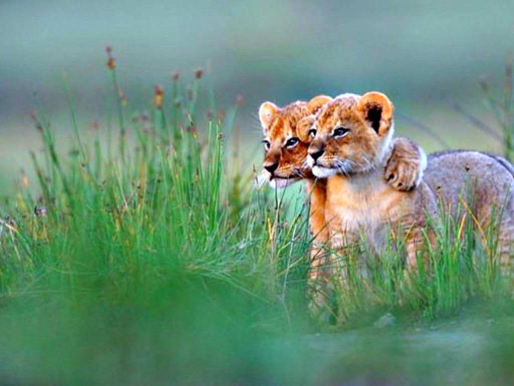 Lion Cub Wallpaper Best Lion Cub Images   Most Beautiful 1024x768