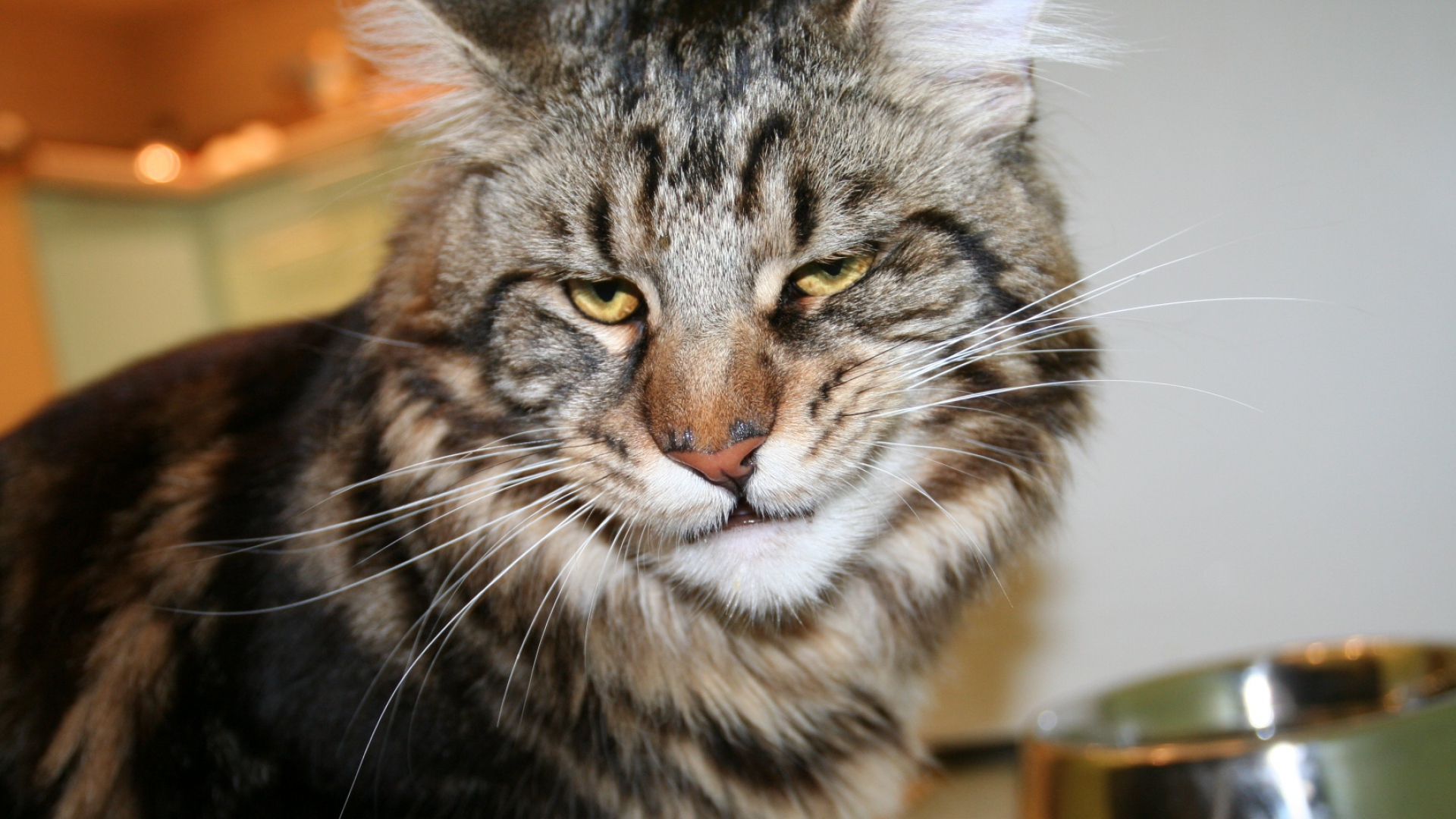 Cat Maine coon Face Frustration Wallpaper Background Full HD 1080p 1920x1080