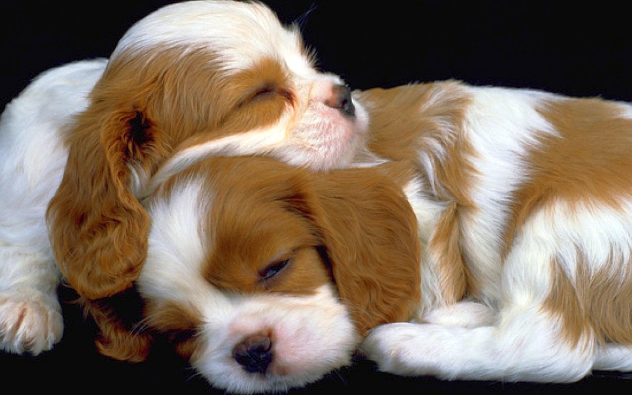 hd puppies pictures puppies images puppy photos puppies wallpapers 1280x800