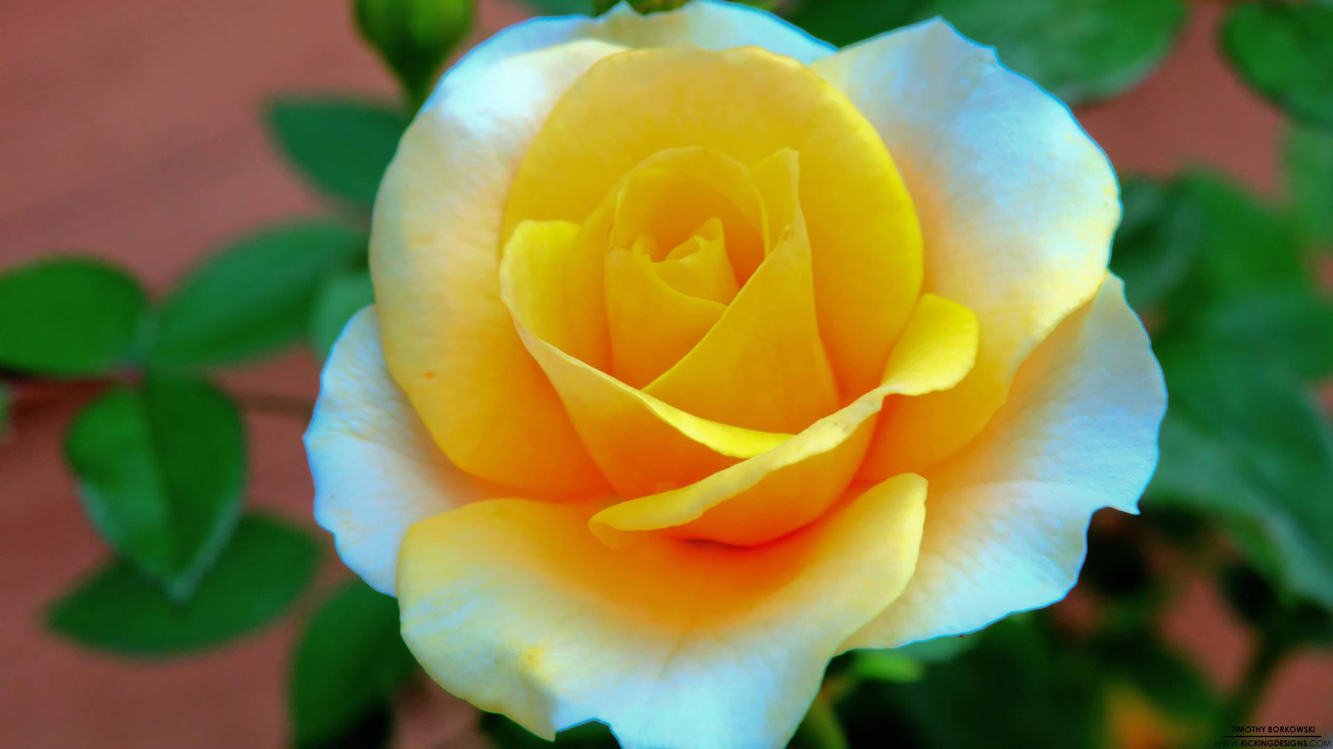 Hd flower wallpapers 1080p wallpapersafari - Rose flower images full size hd ...
