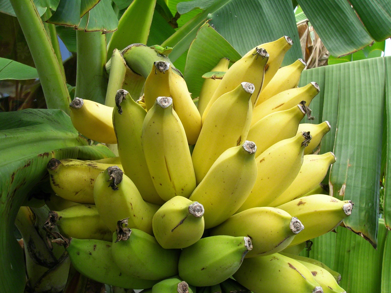 Yellow Banana Tree Pictures Mobile tablet print wallpaper 1600x1200