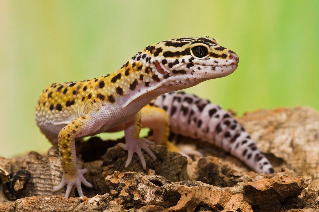 Gecko Wallpapers 4K 1024x683 px   4USkY 1024x683