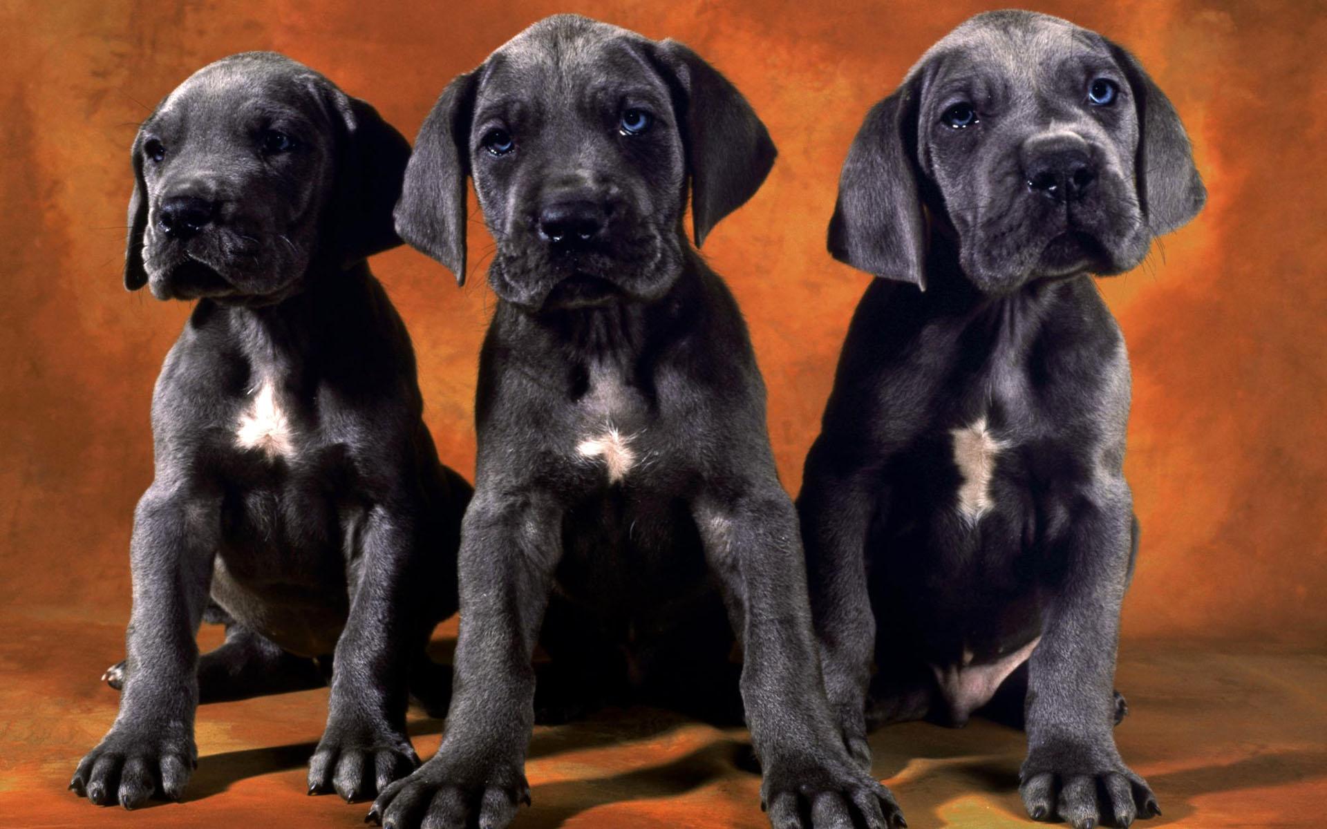 Black Lab Puppies desktop wallpaper 1920x1200