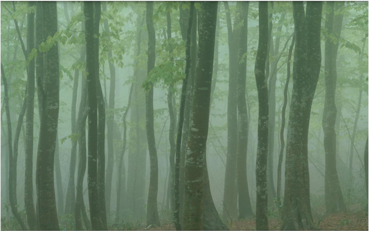 Foggy Forest Wallpaper 1280x800