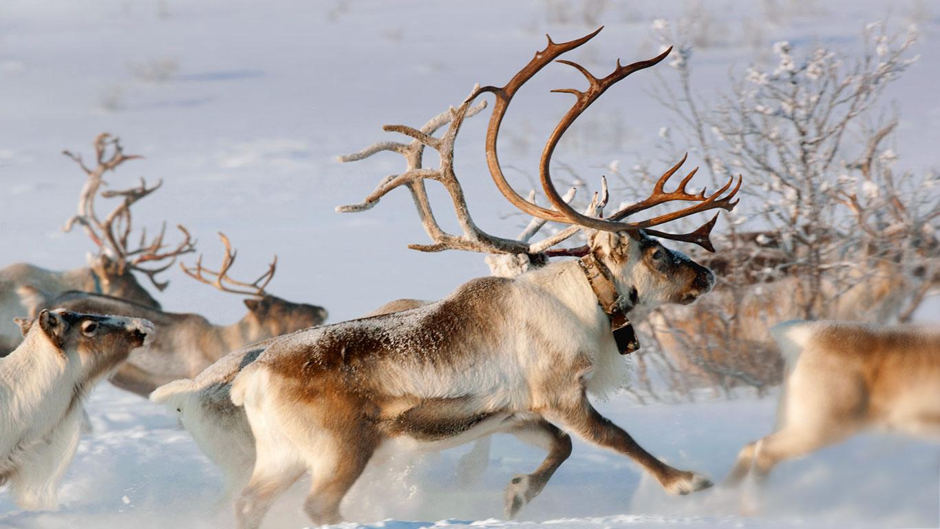 reindeer wallpaper wallpapersafari