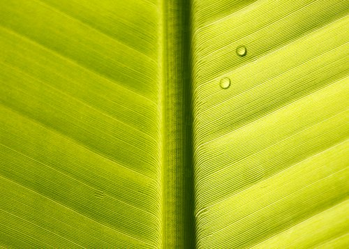 Banana leaf abstract texture and pattern with water droplets Flickr 500x357