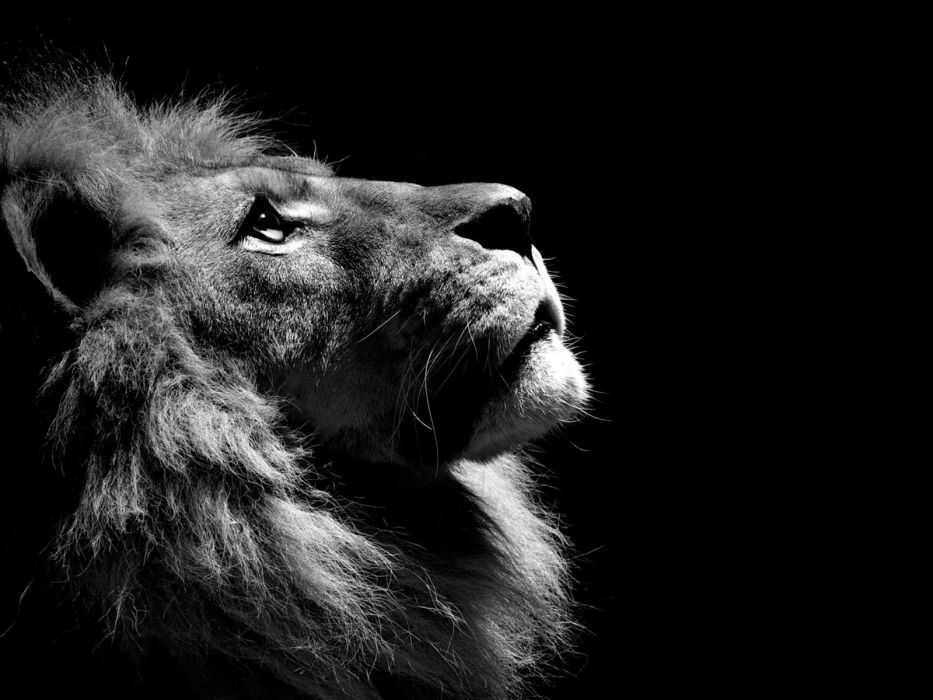 Black and white animals lions wallpaper 1600x1200 316281 933x700