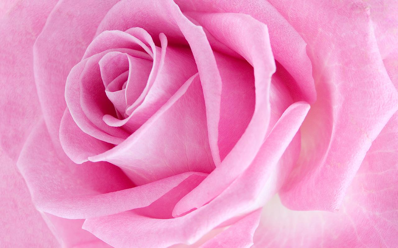 Pink Rose Live Wallpaper   Android Apps on Google Play 1280x800