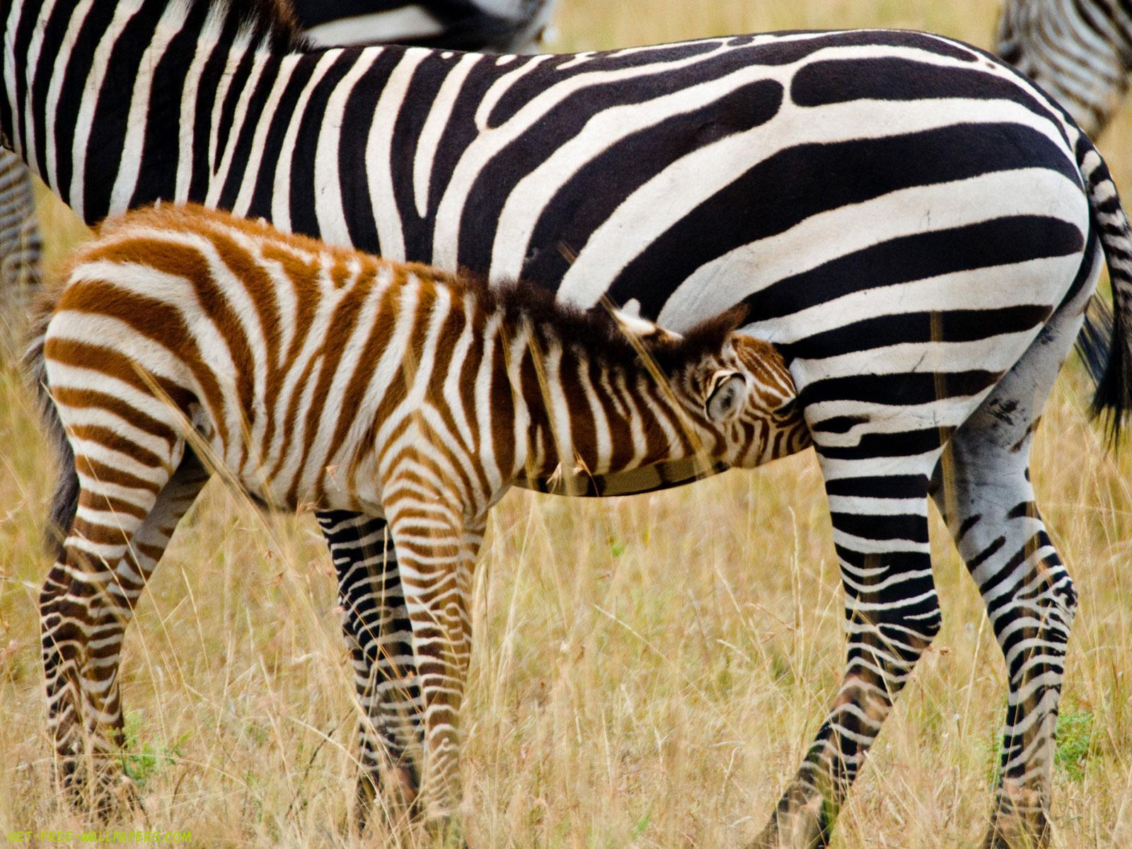 Download Blue Zebra Wallpaper 1600x1200