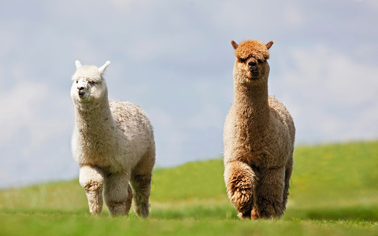 40 Llama Bing Wallpapers   Download at WallpaperBro 1280x800