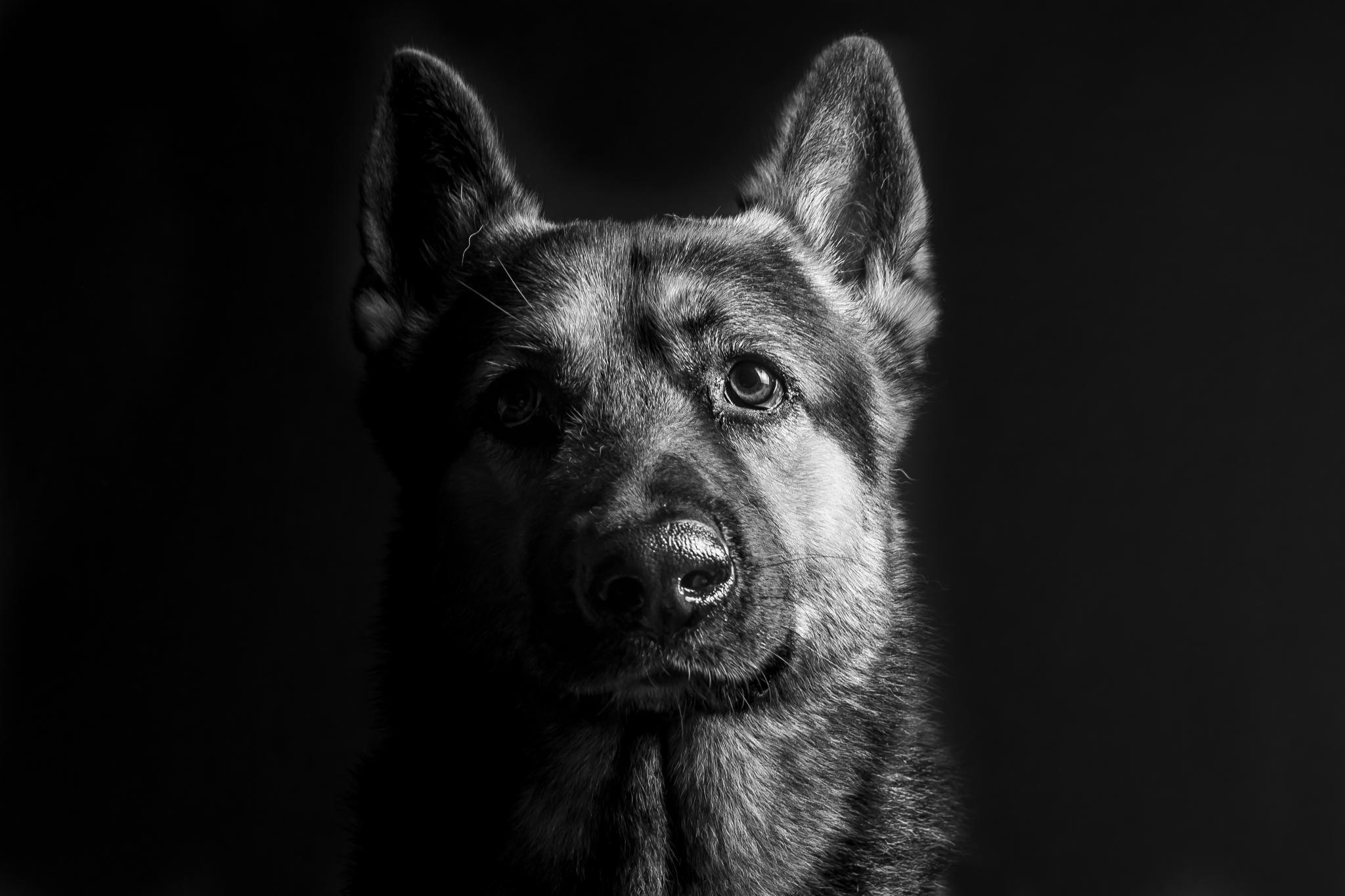 [43+] German Shepherd Wallpapers for Desktop on ...