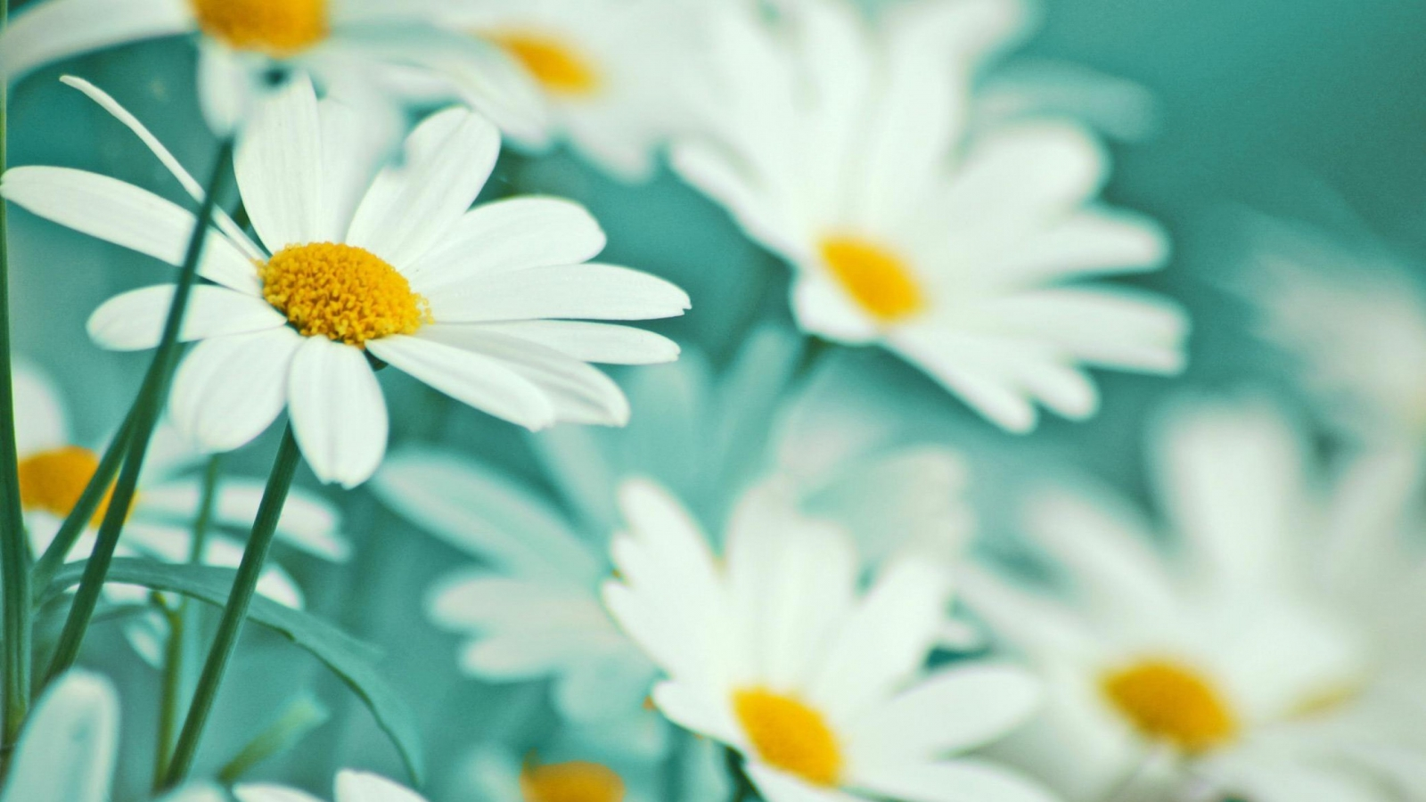 Flower White Background Download Free Hd Wallpapers For: 1600 X 900 Spring Wallpaper