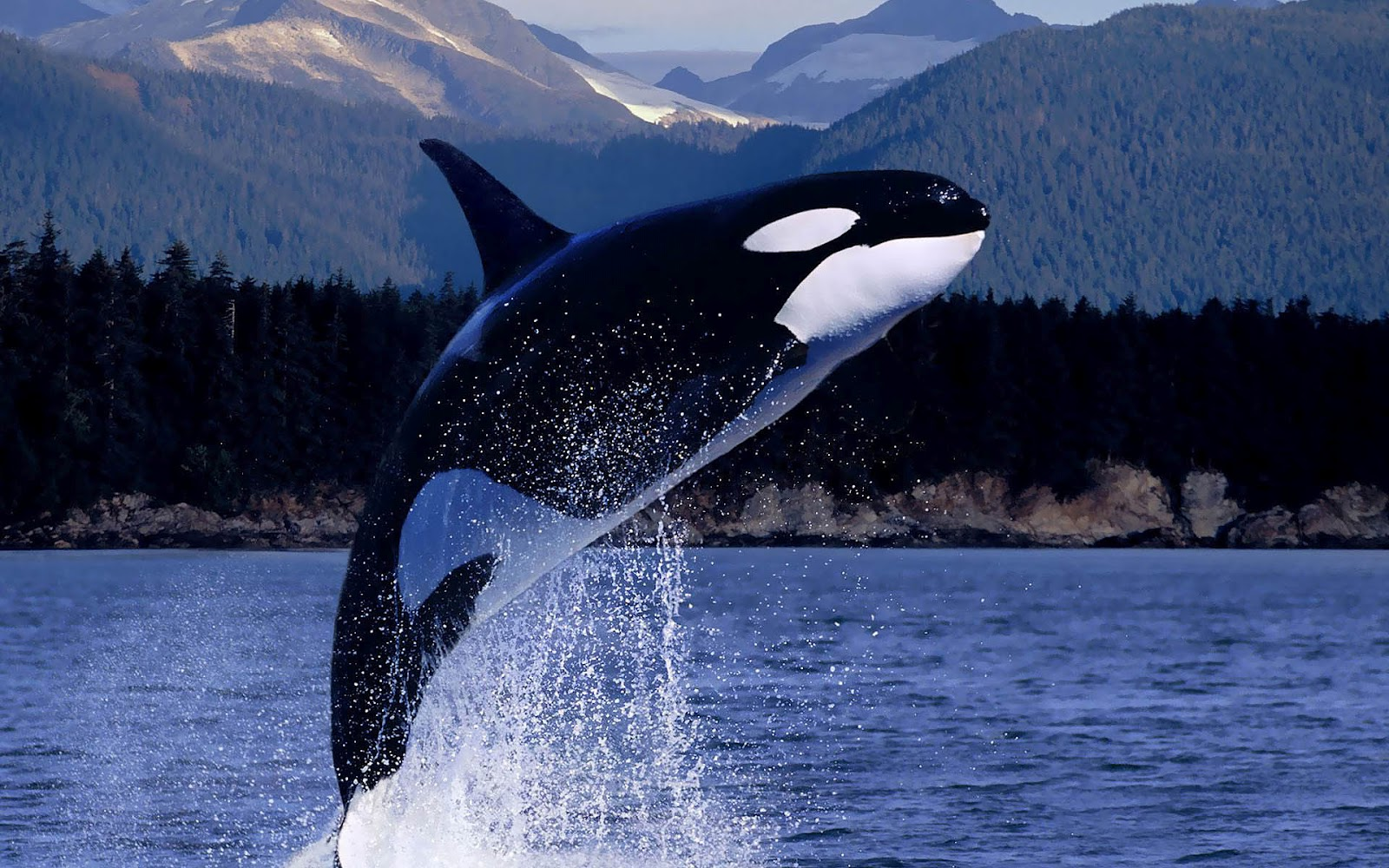 whale jumping out of the water HD orcas wallpapers   background 1600x1000