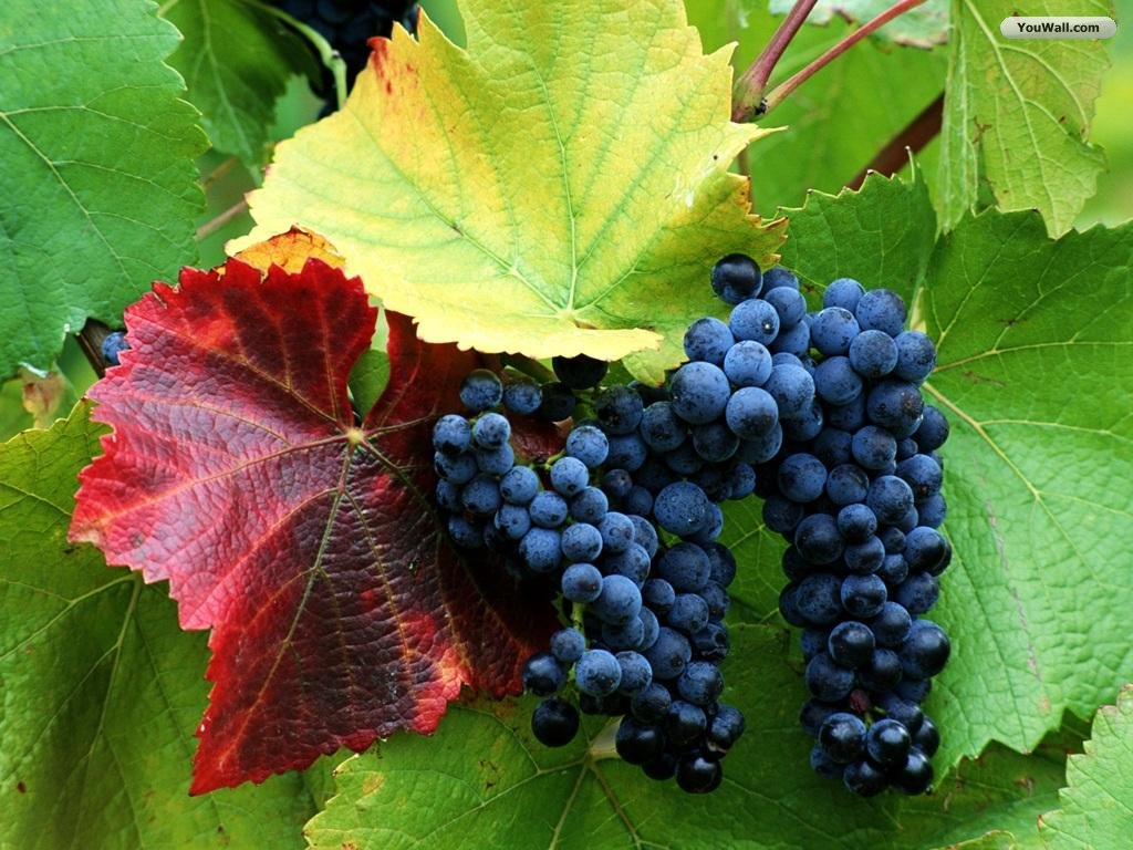 YouWall   Grapes Wallpaper   wallpaperwallpapersfree wallpaperphoto 1024x768