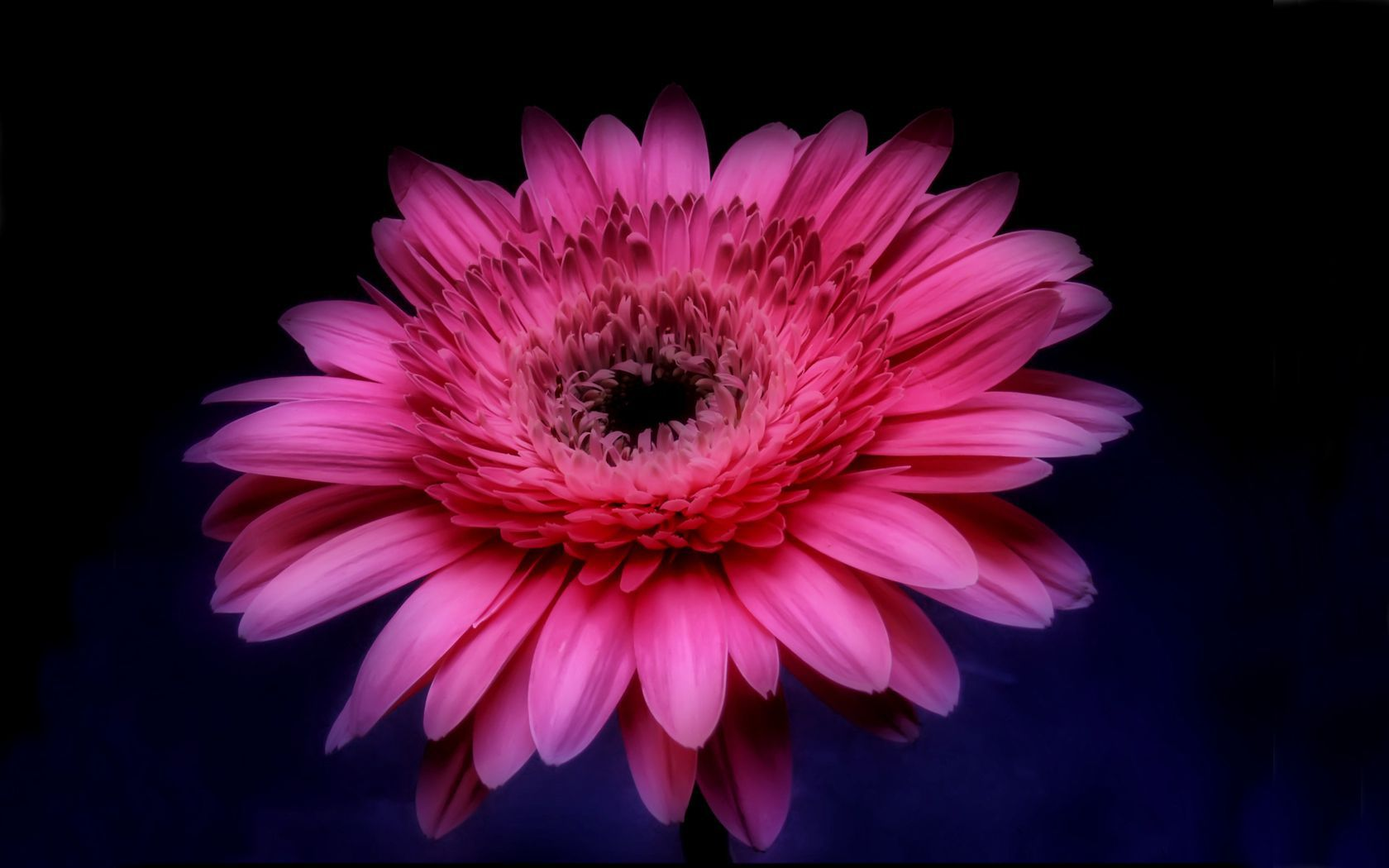 Pink Gerbera Daisy in the Darkness wallpaper 1680x1050 1680x1050