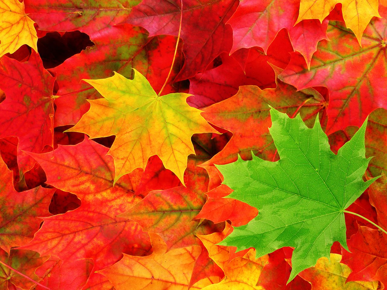 pemandangan Autumn Leaves Wallpaper 1280x960