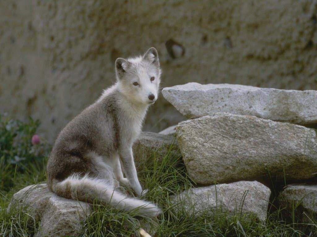 Cute Baby Wolf Wallpaper Wallpapersafari
