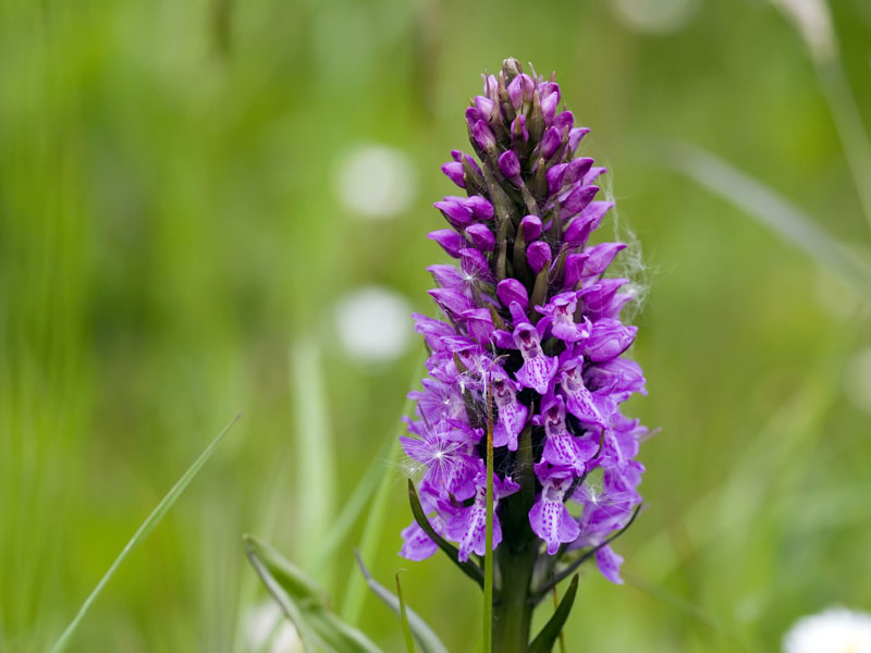 Picture of a Purple Wild Orchid   Wildflowers Background   800x600 800x600