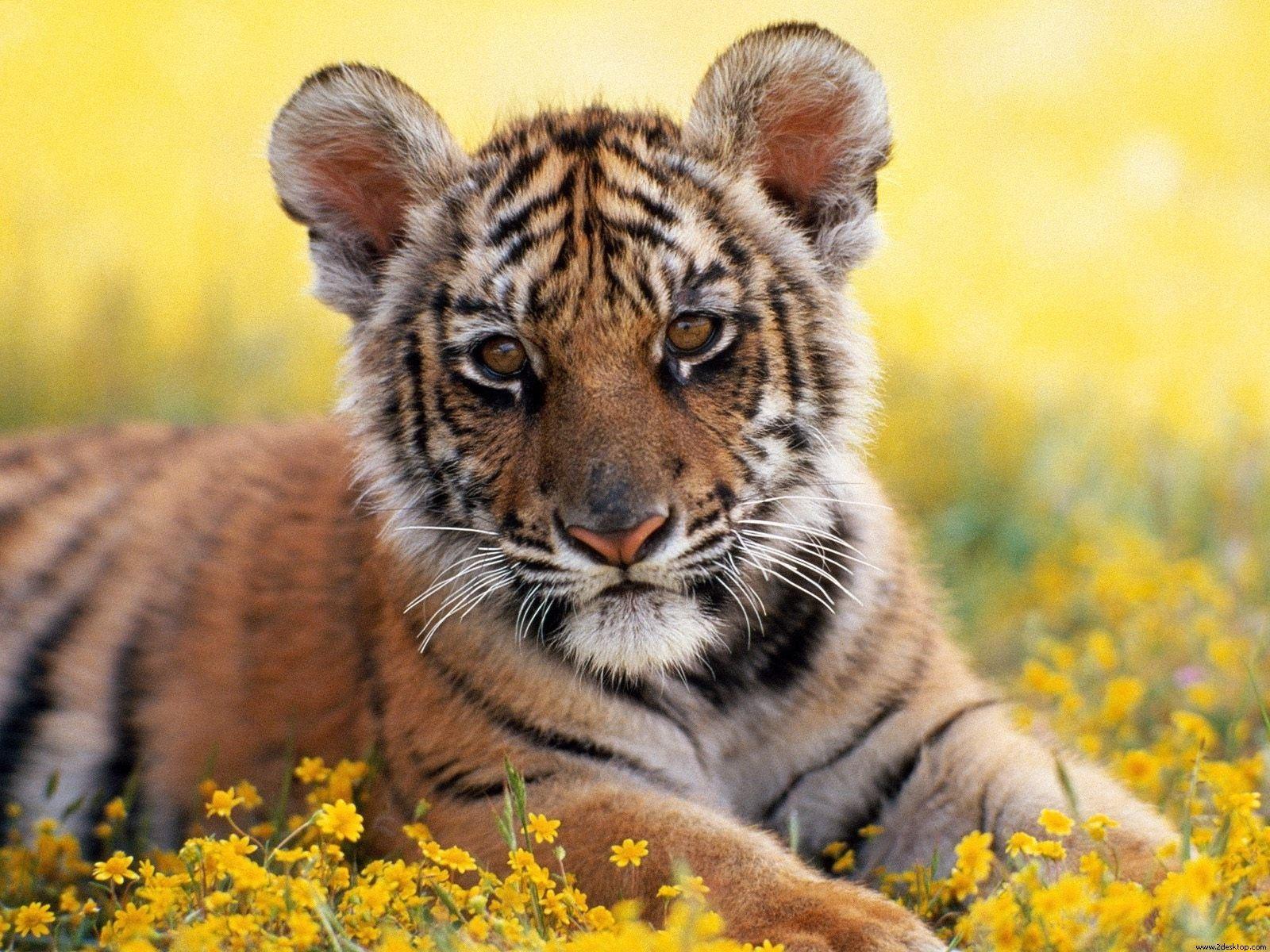 Funny wallpapersHD wallpapers tiger cub wallpaper 1600x1200