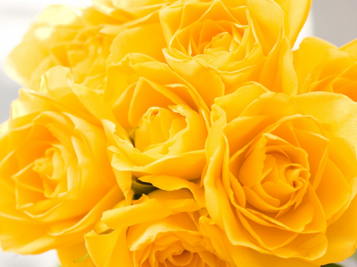Free Download Yellow Roses Flower Wallpaper 1440 1200x900 For
