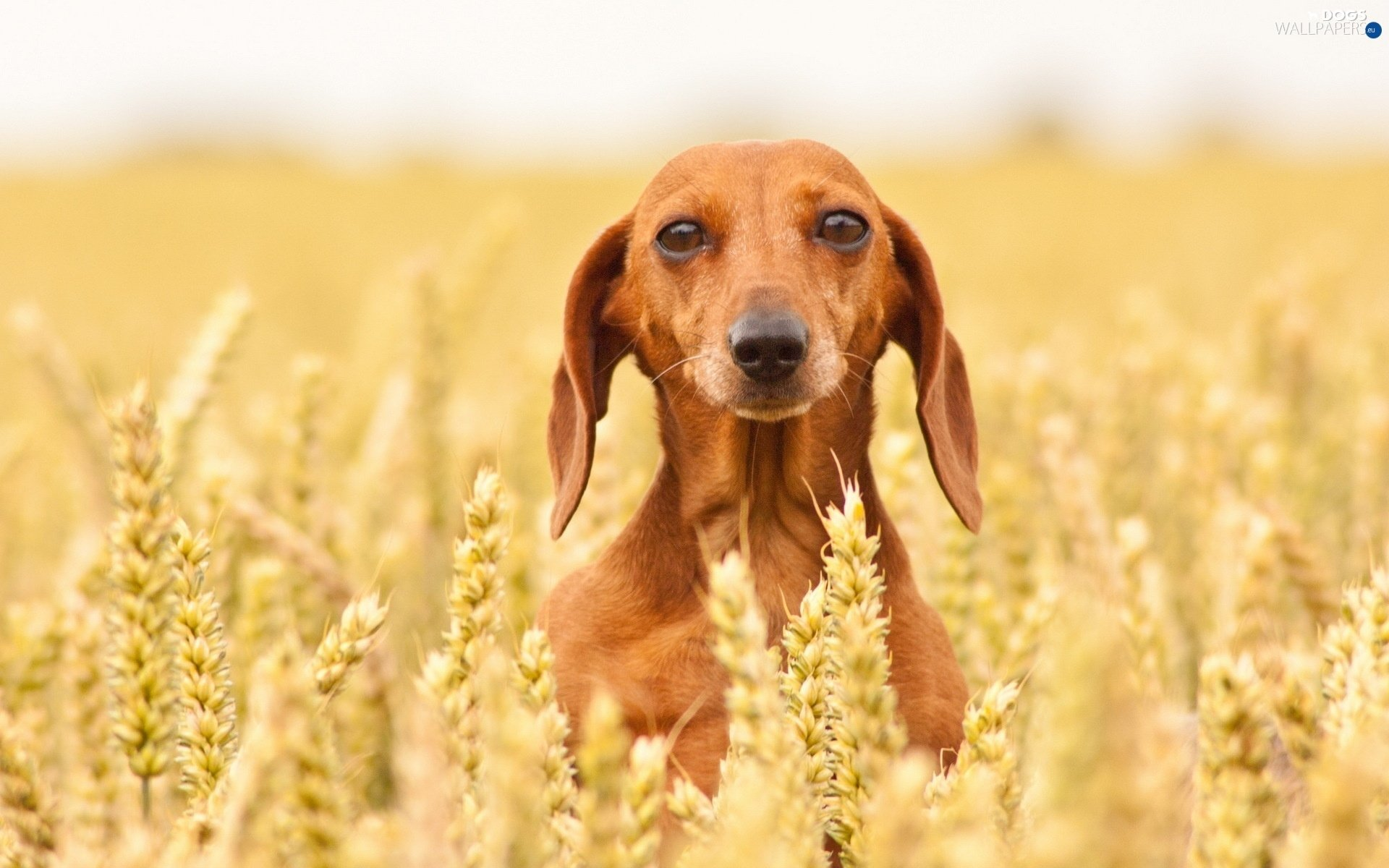 dachshund Shorthair dog Dogs wallpapers 1920x1200 1920x1200