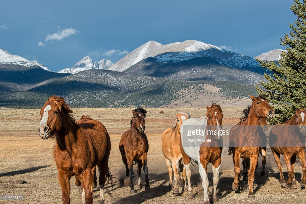 Horses Running In Corral Colorado Peaks In Background Stock Photo 1024x683