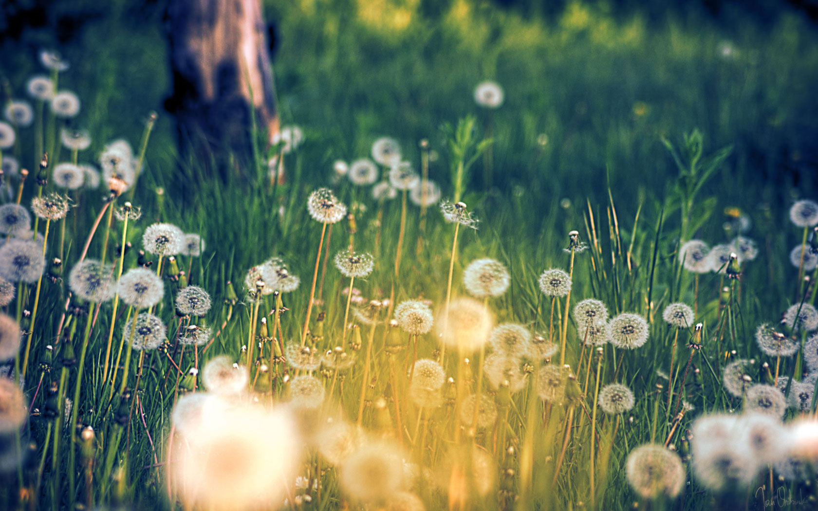 Download Dandelion Field Wallpaper pictures in high definition or 1680x1050