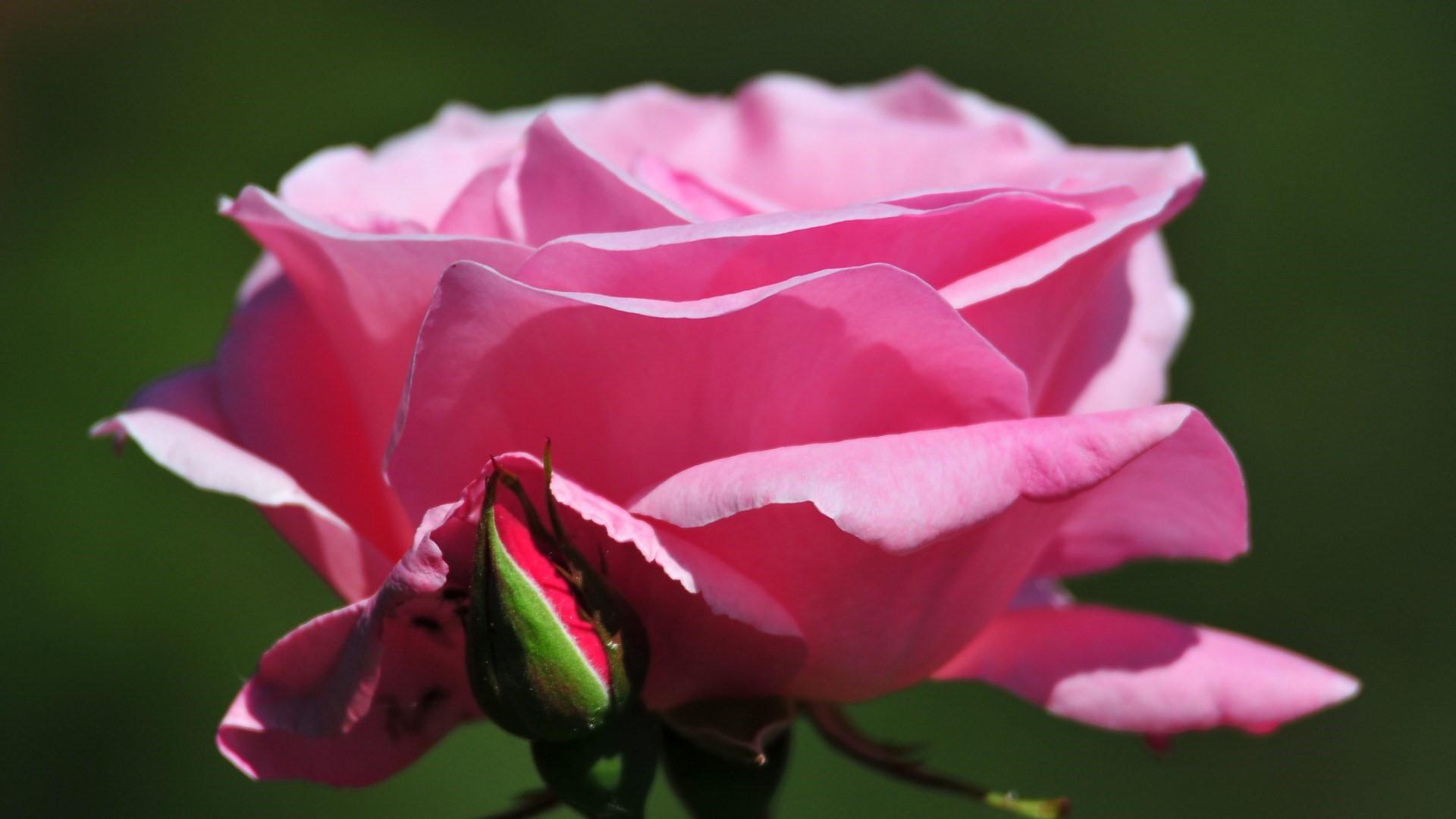 Rose Flowers Wallpapers Free Download Wallpapersafari