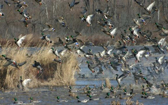 Ducks Unlimited reaches conservation milestone 575x361