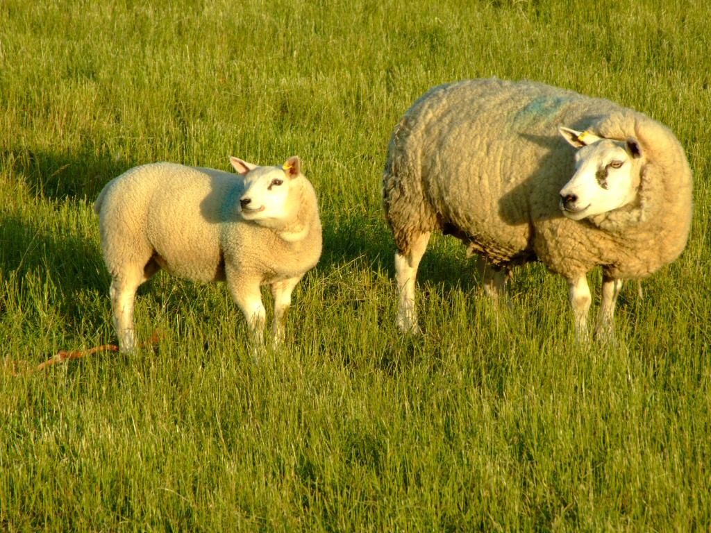 Free Download Sheep Lamb Photos Desktop Backgrounds Wallpaper 1024x768 For Your Desktop Mobile Tablet Explore 47 Sheep Wallpaper Desktop Electric Sheep Wallpaper Shaun The Sheep Wallpaper Minecraft Sheep Wallpaper