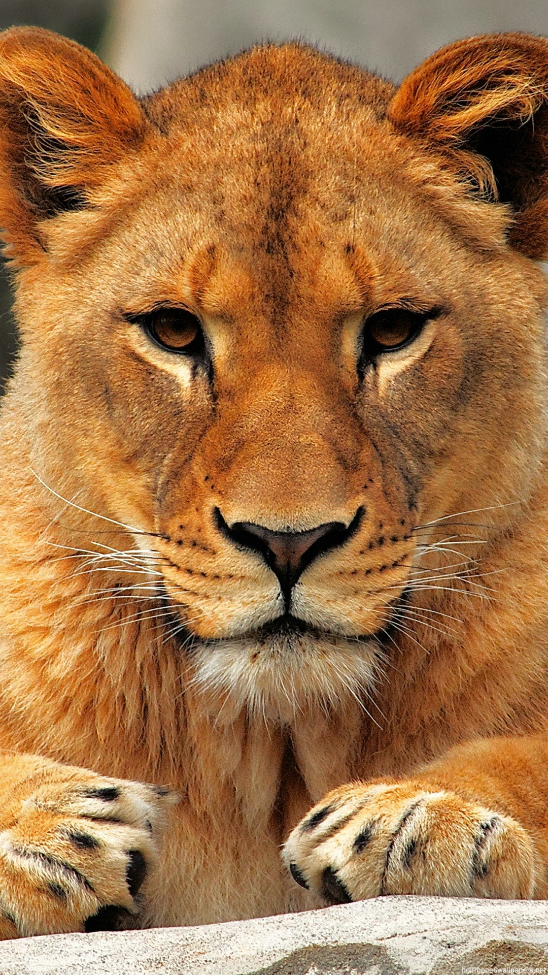 lion iPhone 6 wallpapers HD   animal iPhone 6 Plus backgrounds 1080x1920