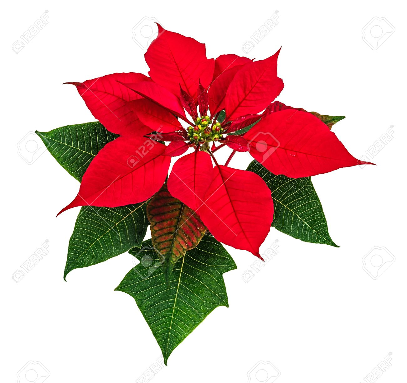 Christmas Red Poinsettia Flower Isolated On White Background Stock 1300x1226