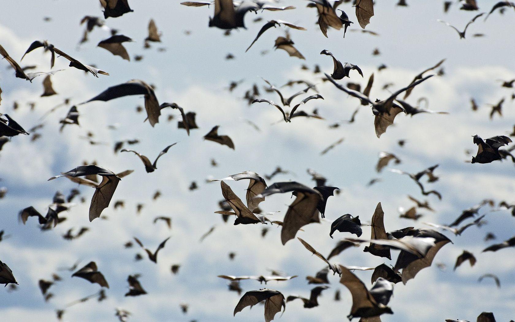 Bats wallpaper 13723 1680x1050