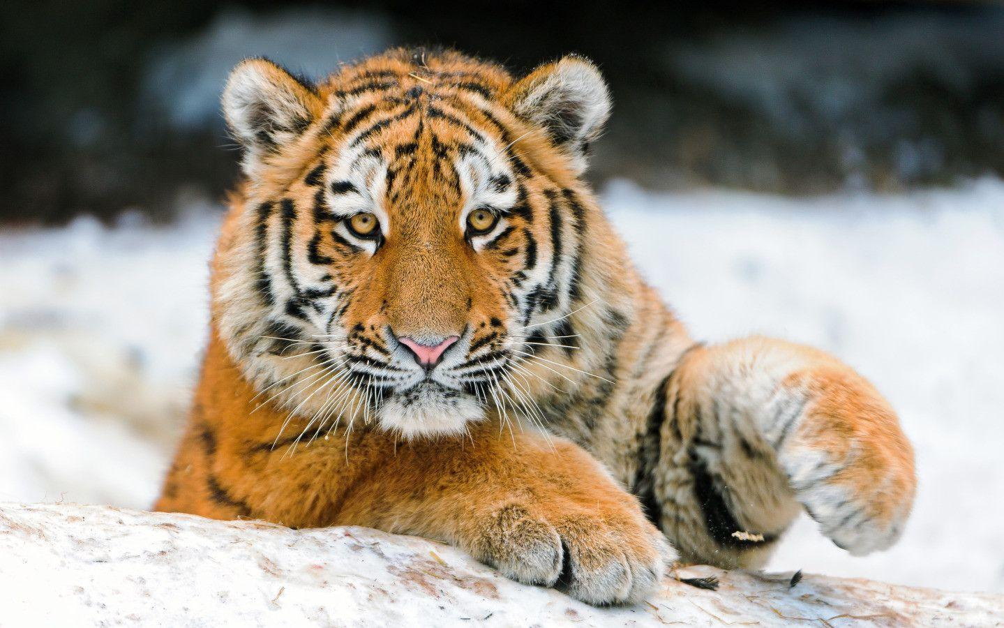 Cute Tiger Wallpapers 1439x900