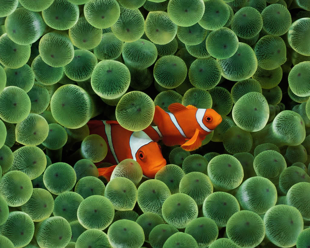 Thread Wish there was the Apple clown fish LIVE Wallpaper 1024x819