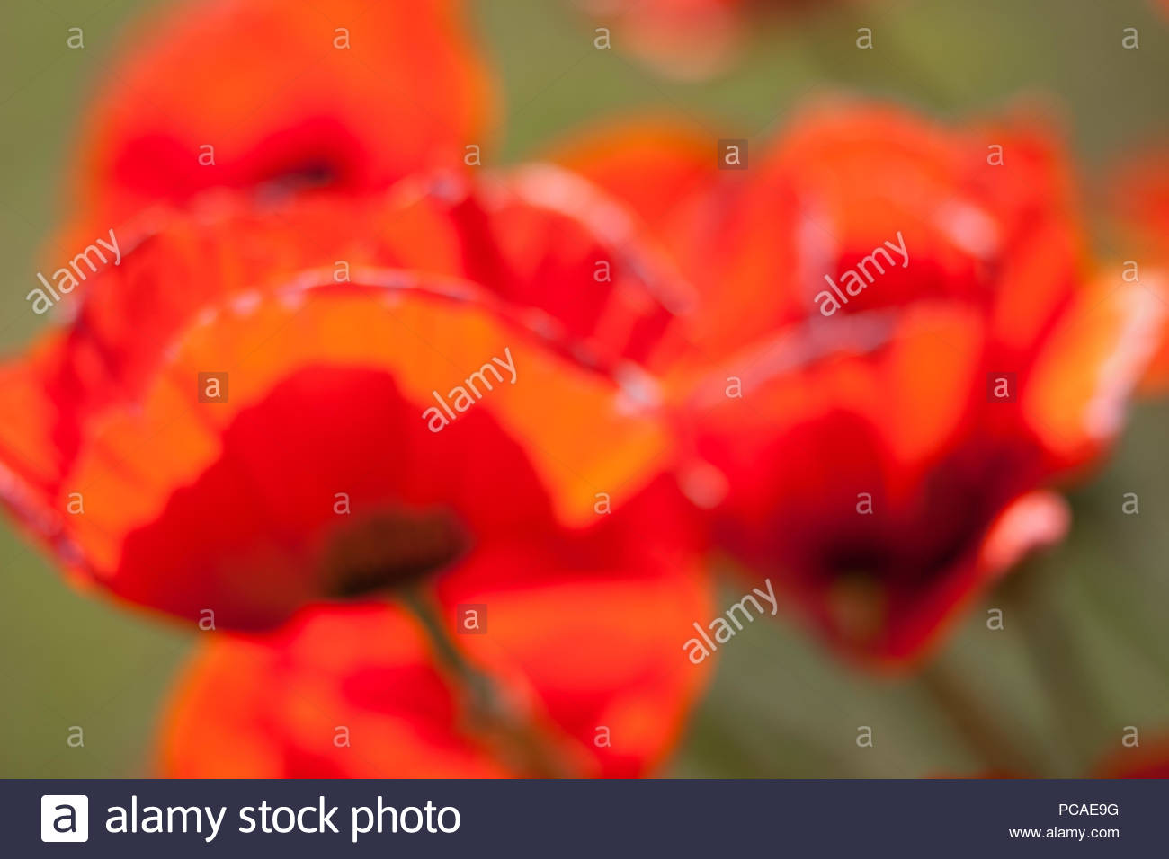 Large red vague poppies on green grass background Stock Photo 1300x956