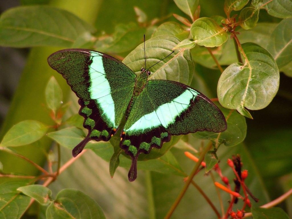 Emerald Butterfly   Splendid Wallpaper HD 1024x768