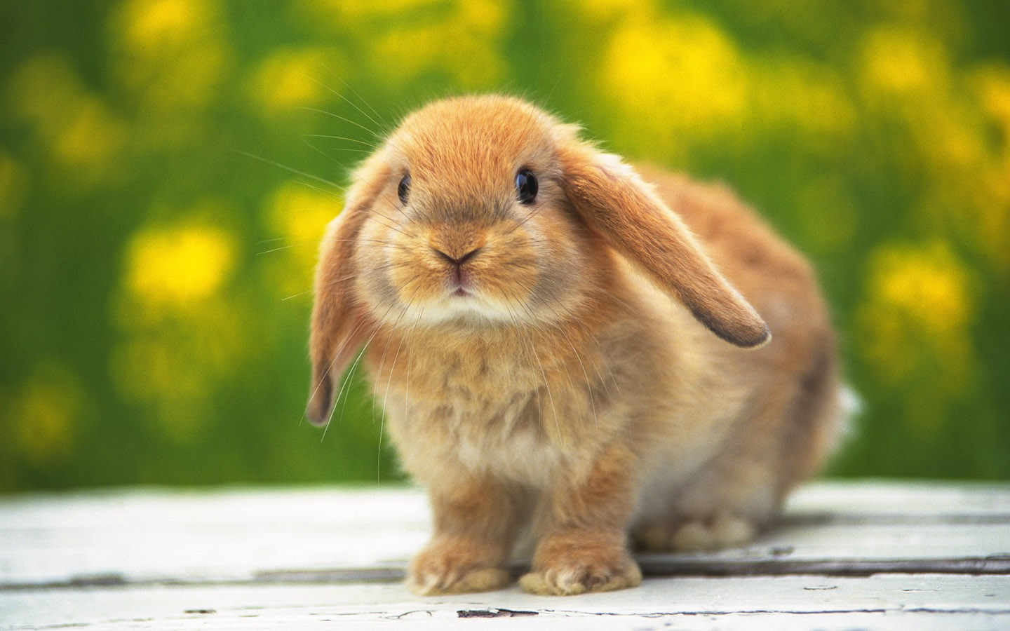 Funny and Cute Rabbits Wallpaper My image 1440x900