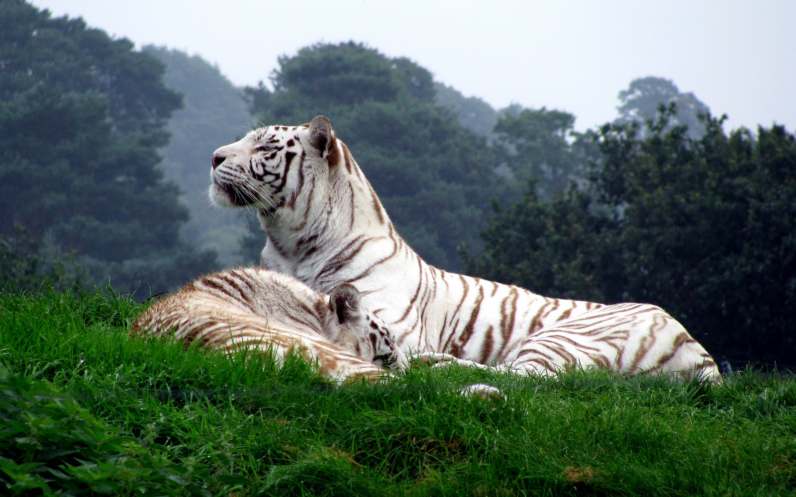 Pictures of white tiger in forest HD Wallpaper 1600x1000