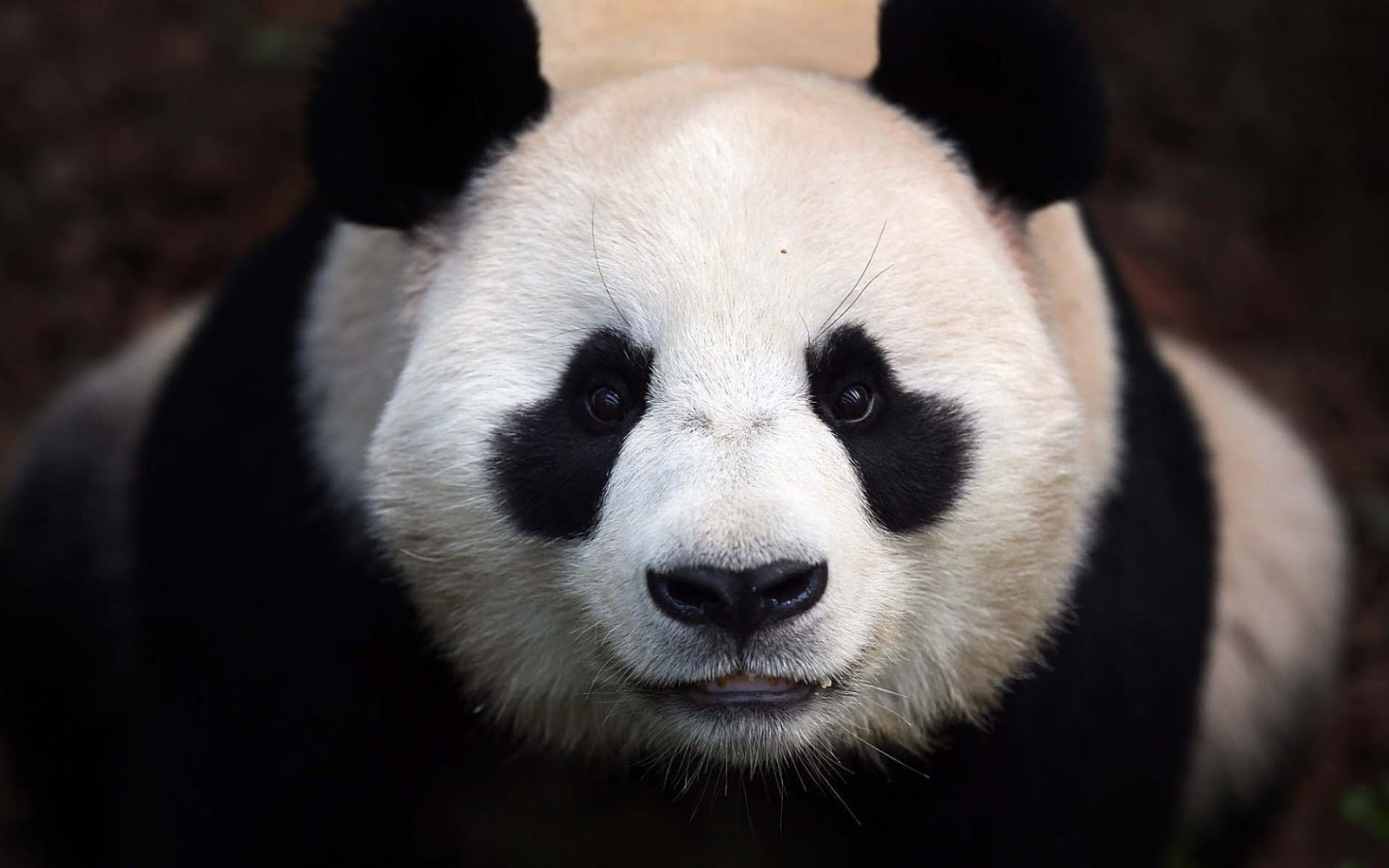 Close up photo of a panda bear HD Animals Wallpapers 1600x1000
