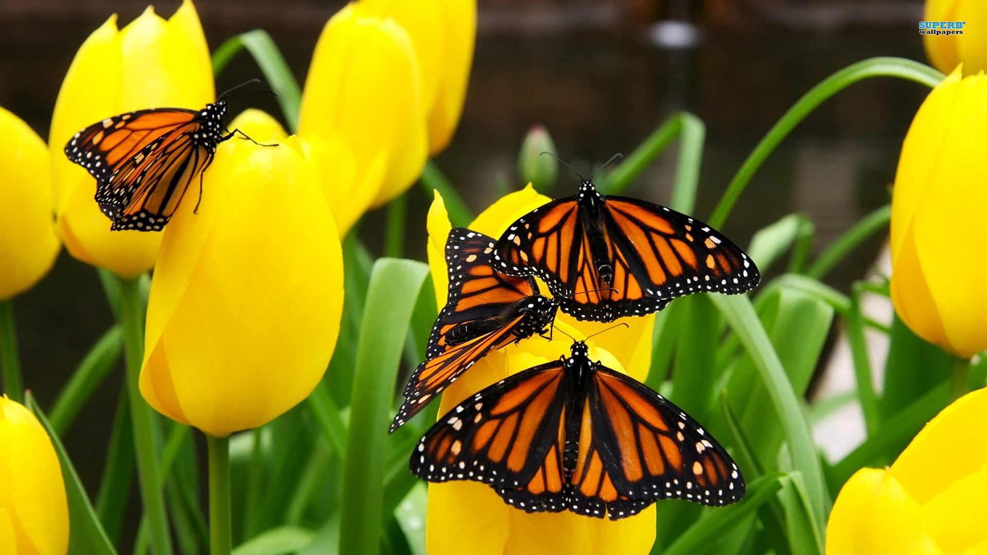 Monarch Butterflies Wallpaper Desktop Butterfly Butterflies Monarch 1920x1080