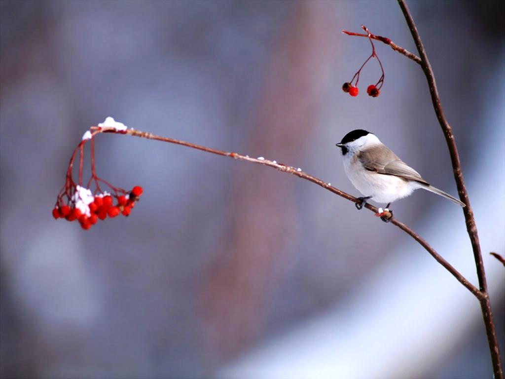 Bird Desktop Wallpaper Bird in Winterjpg 1024x768